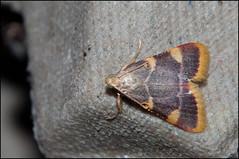 Triangelmot - Hypsopygia costalis (Thijs Calu) Tags: nature moth insects lepidoptera micro moths pyralidae mot nachtvlinder heterocera micromoths motten micromoth nachtvlinders microvlinder lichtmot lichtmotten triangelmot hypsopygiacostalis microvlinders