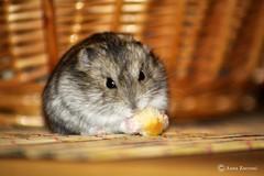 Mordicchio (Anna Zucconi) Tags: pet animal animale tier criceto orsetto orsettorusso