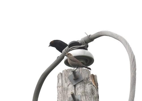 Cowbirds