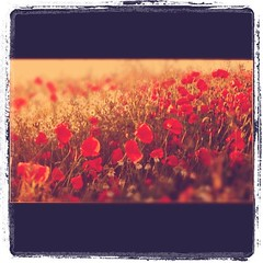 poppy field (mark gorman) Tags: square squareformat lordkelvin colorphotoaward iphoneography instagramapp uploaded:by=instagram