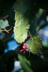 Leuchtend (koDesign) Tags: red green rot nikon basel grün blüten kaktus d300 botanischergarten nikkor2470f28
