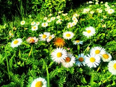 Spring (chmeermann   www.chm-photography.com) Tags: camera flowers grass daisies wiese blumen daisy gras blume blte gnseblmchen iphone criticismwelcome perfectlyclear mostly365 iphoneography