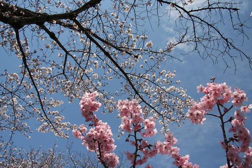 青空と一緒に・・・ / Cherry blossom