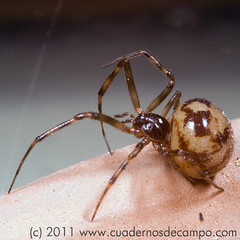 20110407-Steatoda-triangulo