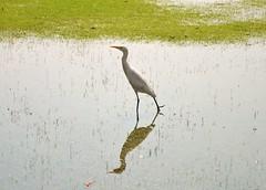 Indian Birds II (Khaled100) Tags: india reflection birds egret  alajmi