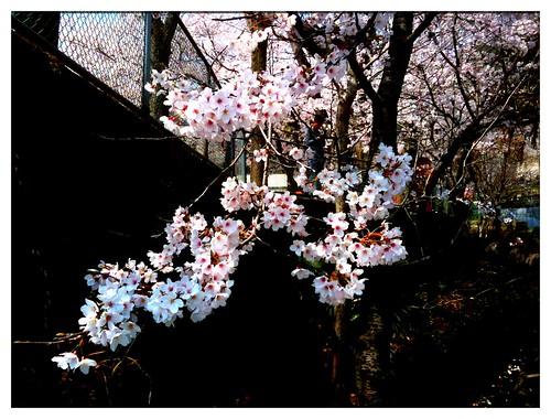 Sakura in Mitaki