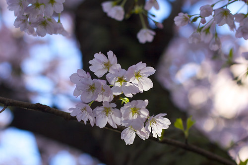 Delicate Cherry Blossoms
