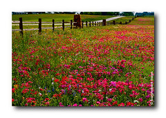 Cnh ng Xun / No.07 (HoangHuyManh images) Tags: travel flowers usa texas brenham platinumheartaward platinumheartshalloffame mygearandme hoanghuymanhimages level1photographyforrecreation level2photographyforrecreation qualifiedmemberonlylevel2 qualifiedmemberonlylevel3 highqualityimages6awards smalltowninusa
