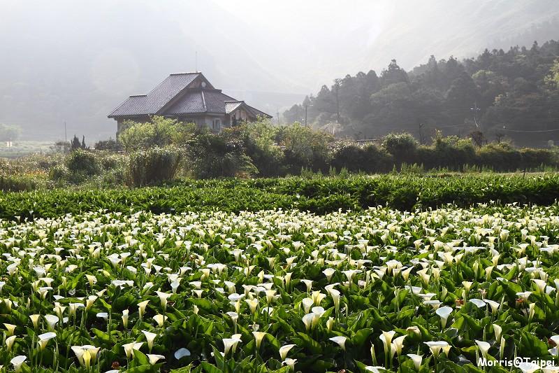 竹子湖海芋節 (16)