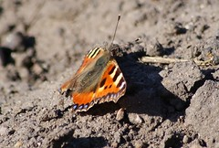 Butterfly...heavily cropped (osto) Tags: animal butterfly bug denmark europa europe sony zealand dslr scandinavia danmark a300 sjlland  nrum osto rudersdal april2011 alpha300 osto