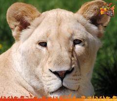 Leone (Parco Natura Viva) Tags: parco safari leone foresta leonessa carnivori mammiferi felidi leonebianco leonessabianca