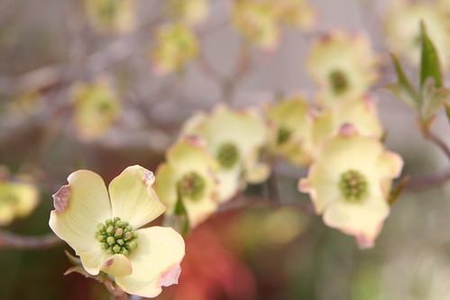 Dogwood Blossoms 2011