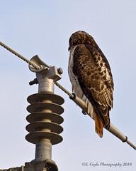 Redtail Hawk (Stephen Coyle) Tags: bird nature photoshop canon rebel hawk wildlife beak feathers talon redtail birdofprey 400mm xti stephencoyle