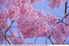 2011-04-14 0504 Sakura, Prunus serrulata, the weeping cherry tree blossoms (Badger 23 / jezevec) Tags: park pink flowers flower tree cherry spring blossom indianapolis blossoms indiana anh bloom  flowering sakura blooms holliday weeping hoa blooming prunus cerezo weepingcherry    kirschblte   jezevec cvijet serrulata shidarezakura prunusserrulata o krsbr   cseresznyevirg japanskt  hoaanho kirsuberjatr badger23 namumulaklak  trenjin    seresang trenjincvijet