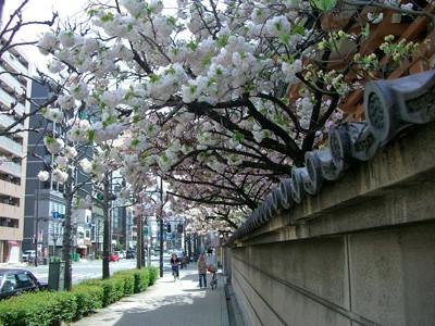 蓮興寺の山桜