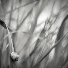 @.. (Le***Refs *PHOTOGRAPHIE*) Tags: bw white black macro nature square 50mm nikon bokeh nb explore f18 frontpage escargot herbe proxy carr d90 lerefs
