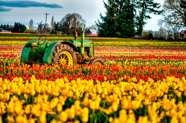 Tractor and Tulips at Woodburn
