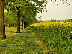 Trees and Rapeseed (saxonfenken) Tags: trees grass infinity rape 121 storybook vanishing rapeseed yellowandgreen gamewinner storybookwinner pregamewinner fromlatestpage pregameawarded 121trees