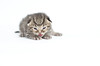Kitty (Carl's Photography) Tags: cat iso200 nikon kitten kitty f28 sb800 alienbees 85mmf14d nikkor85mmf14d strobist 1250sec sb900 d7000 1250secatf28 43inchshootthroughumbrella nikond7000 paraboliclightmodifier gettyartistpicks nikonsg3irirpanel whitediffusioncover ab64inchsilverplm