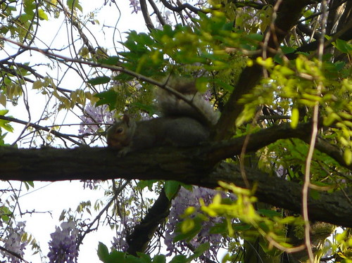 Cyril Squirrel, Wanstead, London