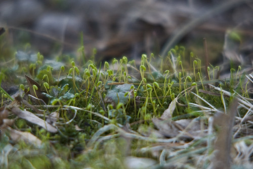 Emerging Spring - Moss