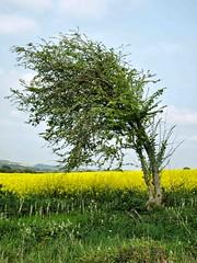 Bow to the Wind (saxonfenken) Tags: tree green yellow wind singletree 87 rapeseed gamewinner pregamewinner 87tree