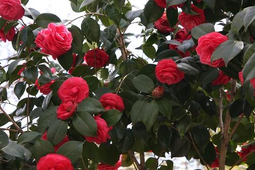 ツバキ / Camellia japonica