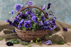 The Pansy Violets (panga_ua) Tags: stilllife art composition canon spectacular artwork thought dof basket artistic availablelight pansy ukraine poetic creation imagination violets natalie viola arrangement tabletop gettyimages burlap bodegon naturemorte panga artisticphotography rivne naturamorta stumbleupon blueflowers artphotography georgiaokeeffe flaxen humanface sharpfocus pierrejosephredout  nataliepanga thepansyviolets therespansiesthatsforthoughts transmittersoflife