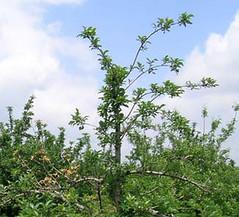 Thinning foliage due to Xylaria root rot. Photo courtesy of John Hartman, Univ. Kentucky.