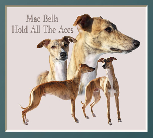 Animagi Whippets Collagen -  Schoko - Mac Bells Hold All The Aces