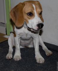 c'est bien assis !? (beaglou prod) Tags: dog chien beagle canon puppy eos chiot assis prod fleche 550d beaglou beaglouprod