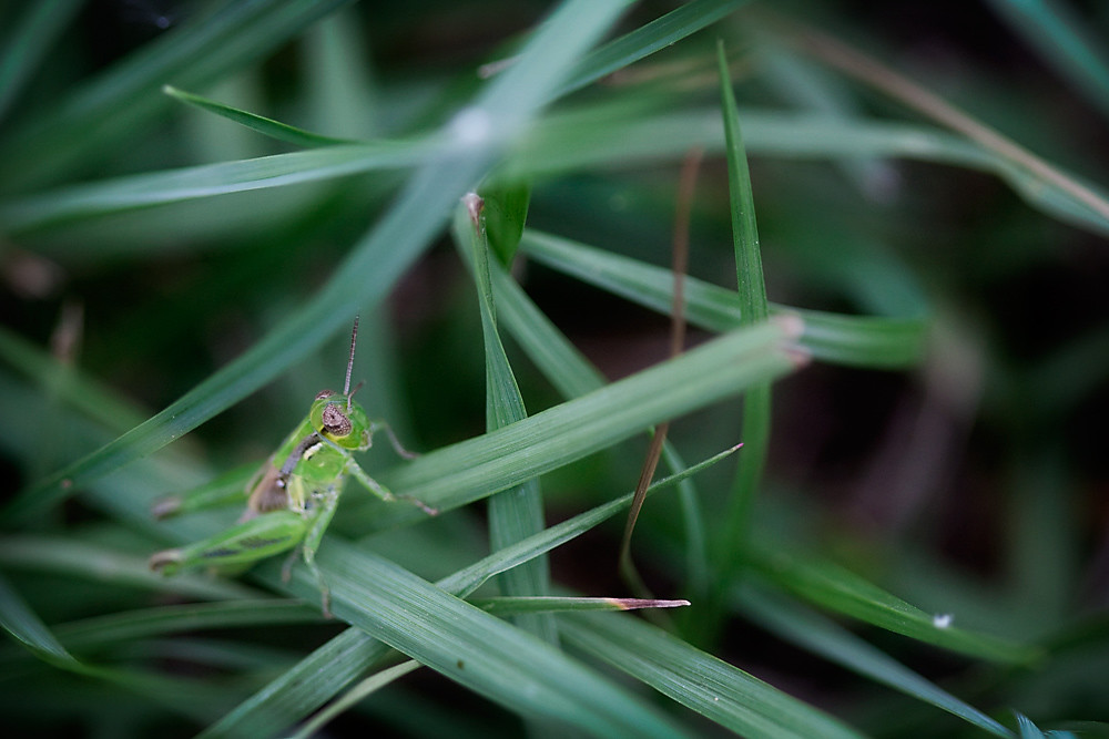 Macro 27/30:  Grasshopper