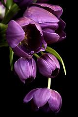 Purple Tulips (kendra kpk) Tags: flowers trees plants black southdakota spring purple tulips places winner april onblack 2011 importedkeywordtags trippcounty dakotawindsphotography
