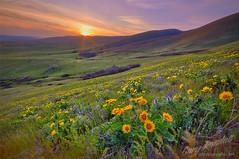 Dalles Mountain Flower Garden (Gary Randall) Tags: flowers sunset washington wildflowers dmr dallesmountainranch garyrandall dsc58092