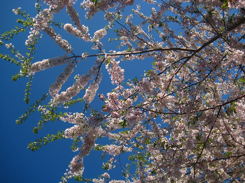 Yoshino cherry tree in bloom