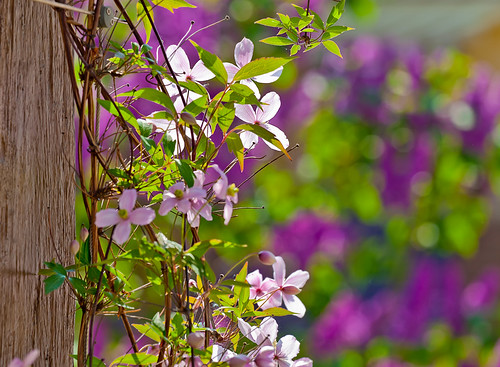 Clematis by targut