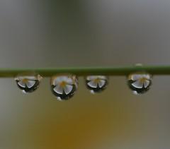 ComeBack (diptianoop) Tags: macro refraction waterdropsmacro malayalikkoottam waterdropsmacros diptianoop