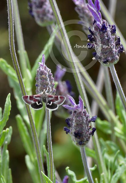 Mariposa en Cantueso (ayuda identificación)