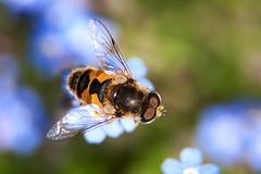 Ape & fiore (Massimo Forchini) Tags: parco flower macro canon eos tubes bee verona micro ape extension 12 20 36 fiore sul valeggio 24105 mincio kenko sigurt 24105mm 40d