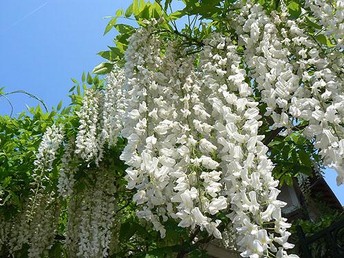 glycine blanche.jpg