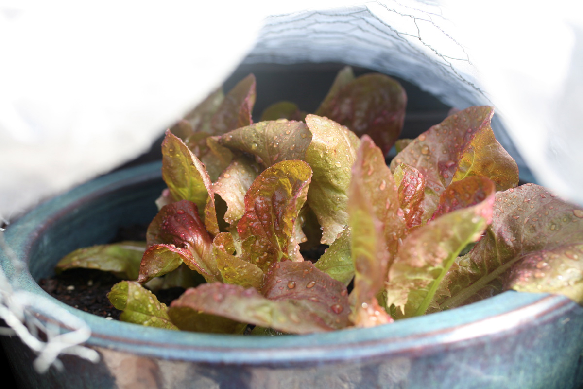 hot day lettuce tent