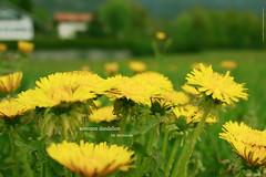 common dandelion 4 (peter pirker) Tags: flower yellow canon landscape austria sterreich spring wiese krnten carinthia gelb blume landschaft frhling lwenzahn commondandelion millstatt flickraward peterfoto eos550d