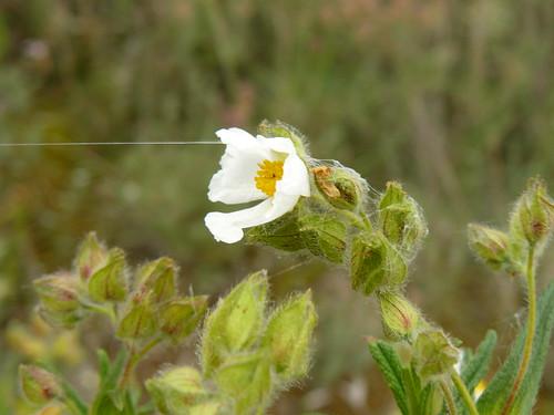 helianthemum apennium