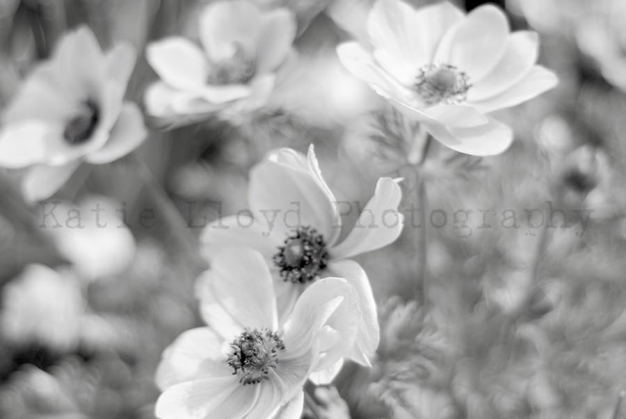 Field of Anemones - B&W