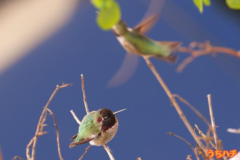 Anna's Hummingbird 010111-2