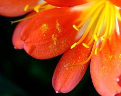 "Polline (""Strlic Furln"" - Davide Gabino) Tags: city red flower yellow canon magic giallo nights pollen 1001nights fiore rosso 1001 polline canonef35mmf14lusm ahqmacro mygearandme silveramazingdetails"
