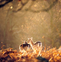 kisses! (andrew evans.) Tags: morning trees winter england nature fairytale forest sunrise golden kent woods nikon bokeh wildlife deer magical f28 d3 daim 400mm cervid daine