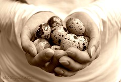Nature's gifts (oneworldmj) Tags: nature eggs tiny quaileggs spotted sepia gift hands cupped speckled simplegifts shaker music heart cycleoflife simple simplicity circular rhythm warmth nurture