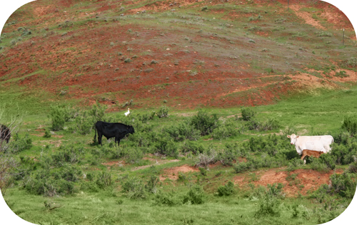 cattle fam