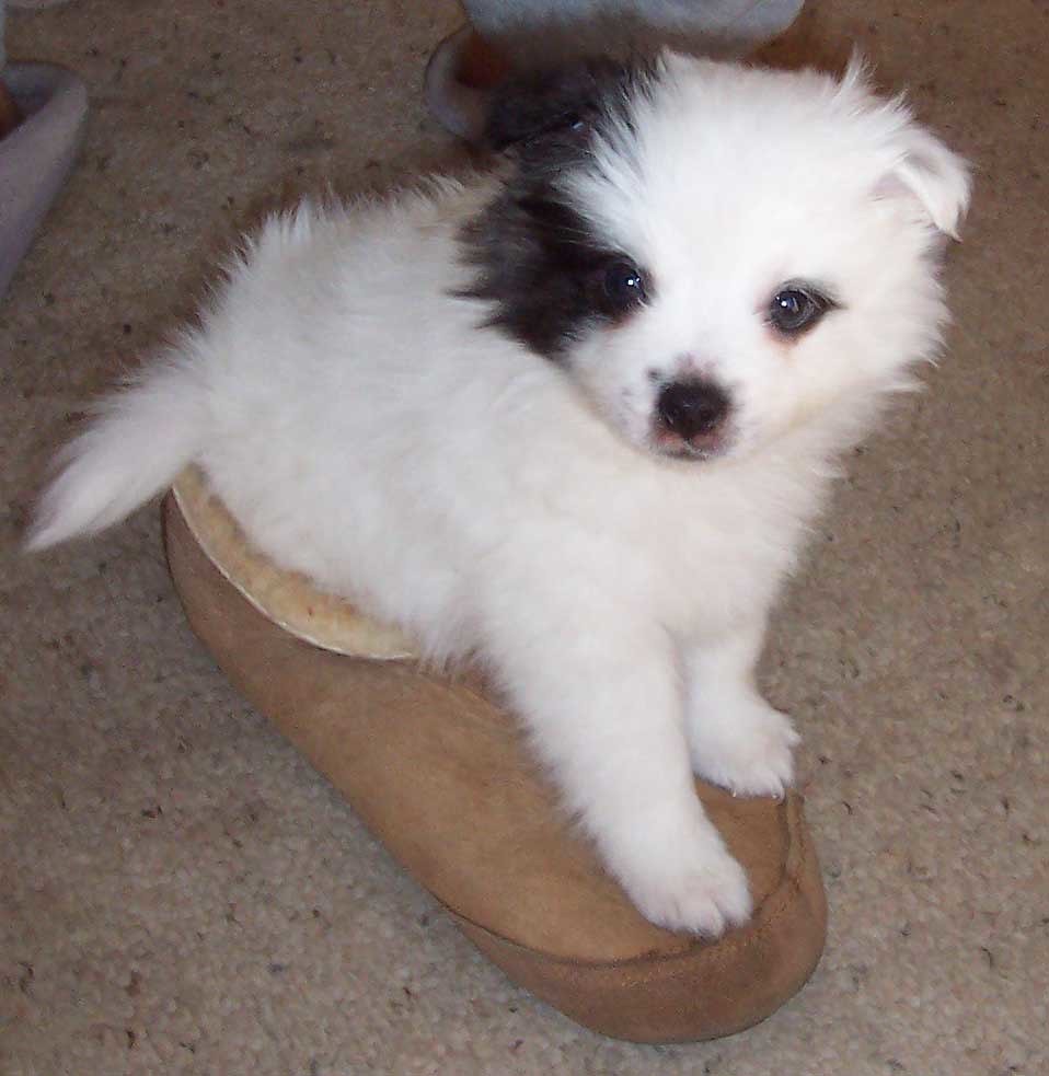 Pirate the Pomston in my slipper as a baby